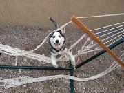 Sharing Chihuahua hates baths (video) Love