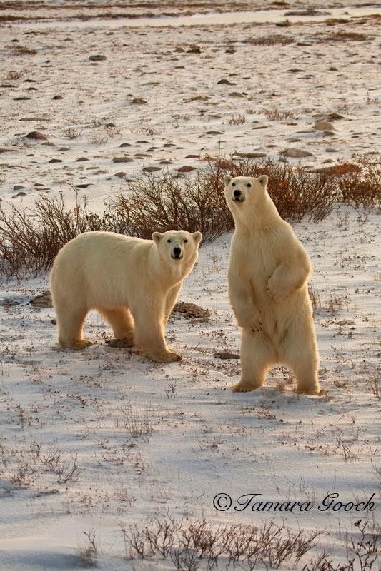 Polar Bears Churchill