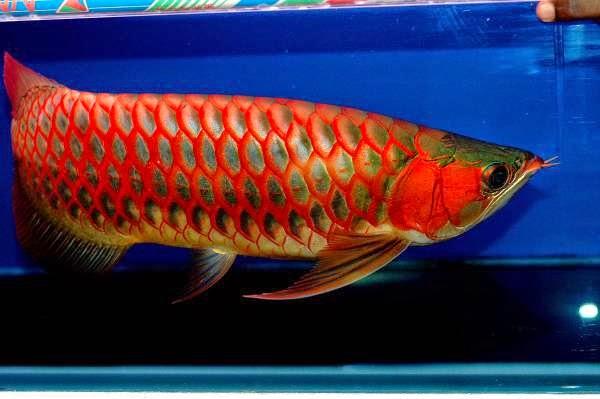 harga terbaru ikan arwana super red