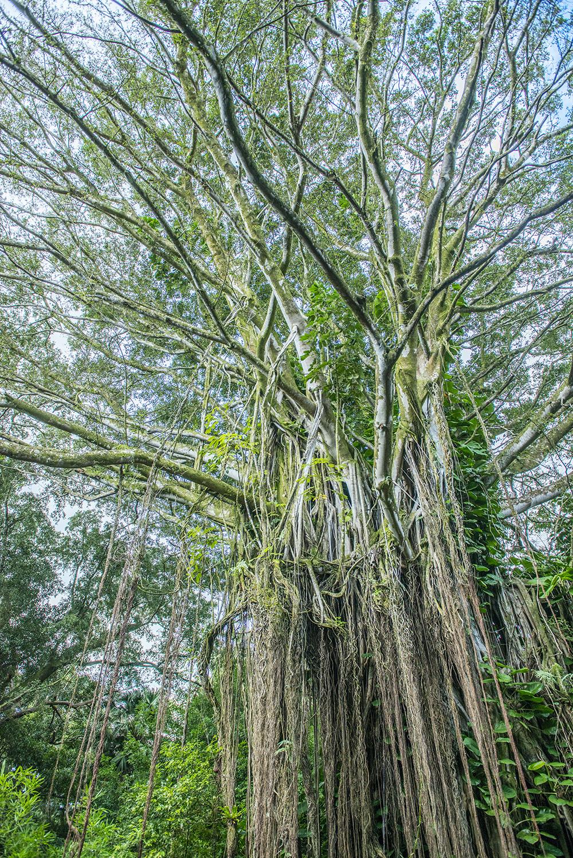 Old tree, Honolulu