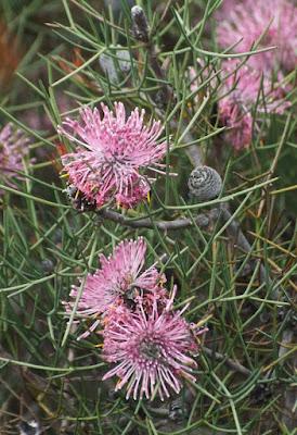 Spreading Coneflower (Isopogon divergens)