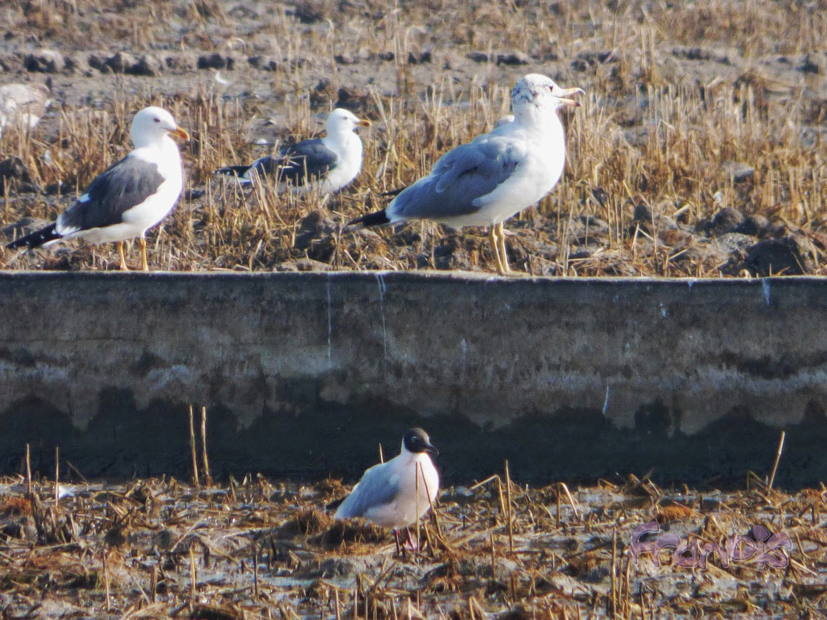 Gavión cabecinegro (I. ichthyaetus) Pallas's Gull