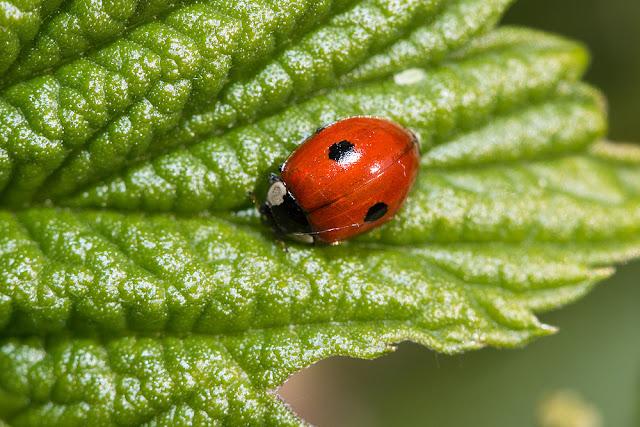 2 Spot Ladybird