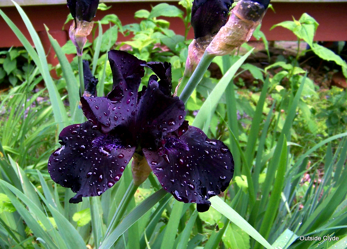 Outside clyde black pink weed we have to watch the black iris while it is here the stems are on their second flowers now they got a good rinse today izmirmasajfo
