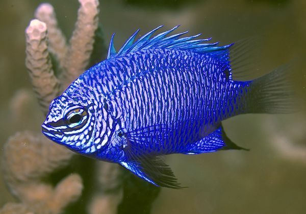 Striking damselfish
