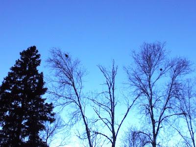 Ruffed grouse feeding in birch trees