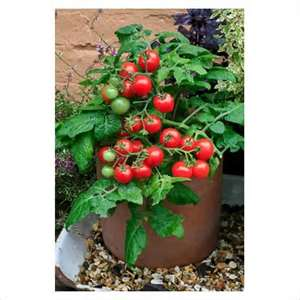 Compact Tomato Plants For Small Spaces