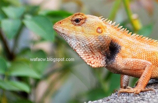 Sesumpah atau chameleon