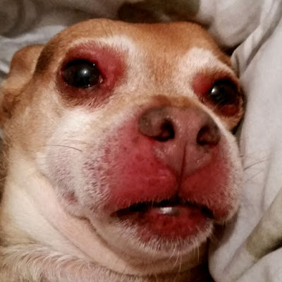 chihuahua with swollen face