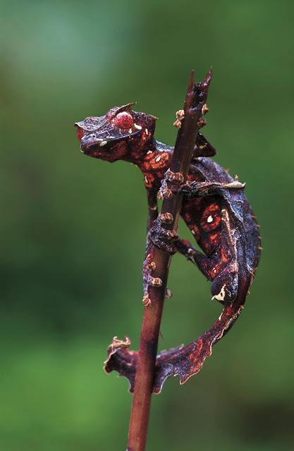 gecko satanico Uroplatus phantasticus