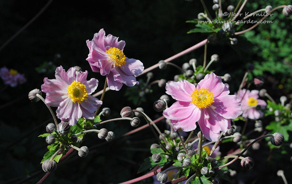 Анемона японская (Anemone japonica)