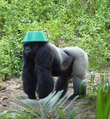 Gorilla wearing hat helmet