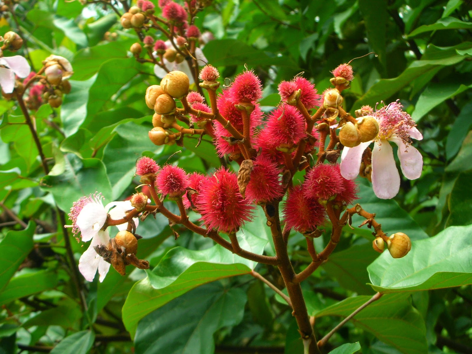 Benefits And Nutrition Of Achiote (Annatto) For Health