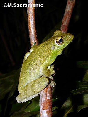 Itapotihyla langsdorfii
