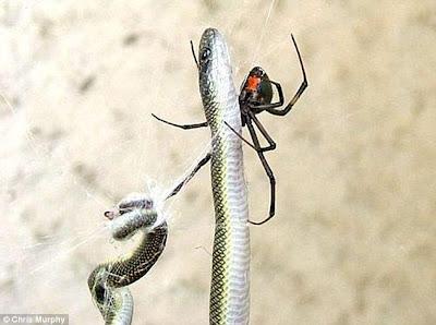 araña comiendo una serpiente