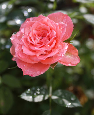 red, rose, pink, rain, water, dew, thirsty, drops, upward, arte, Sarah Myers, S. Myers, art, flower, floral