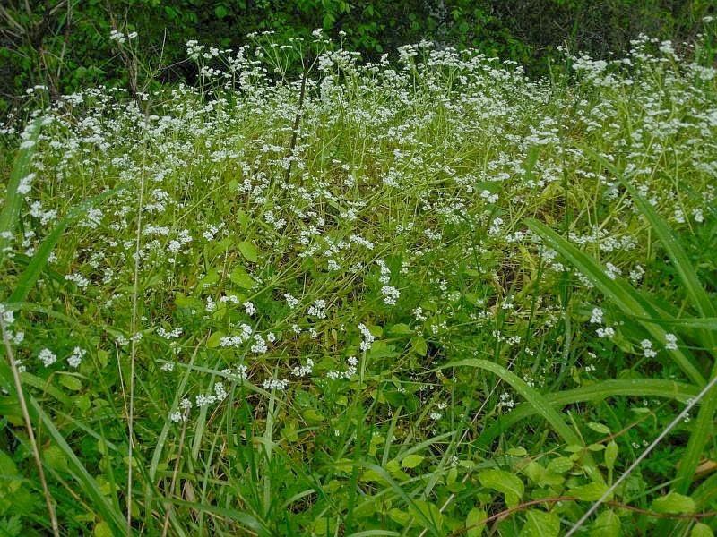 Valerianella radiata , una maleza nativa de EUA, con el nombre común