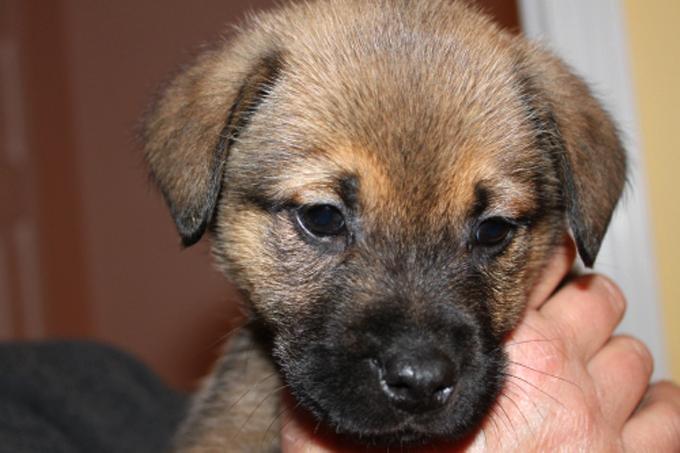 Beagle Boxer: Boxer Chow Mix