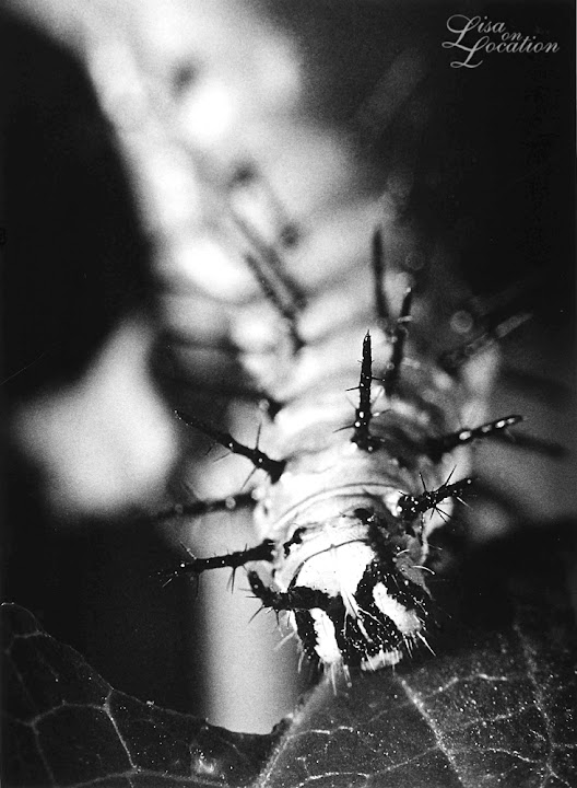 365 photo project, macro Mexican fritillary caterpillar, Lisa On location photography. New Braunfels, Austin, San Marcos, San Antonio. Karl Blossfeldt