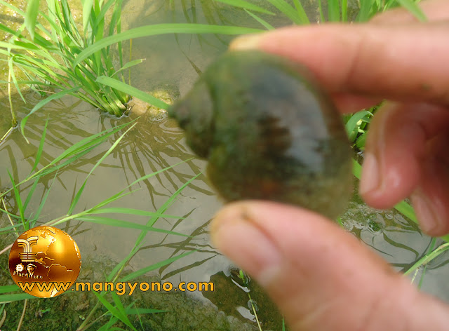 Golden apple snail