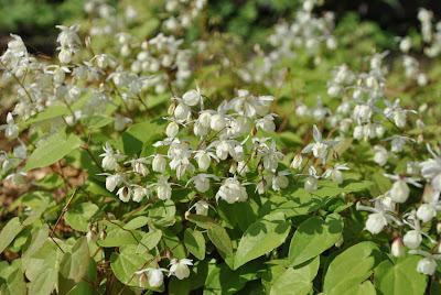 Горянка пышная (Epimedium × youngianum Niveum)