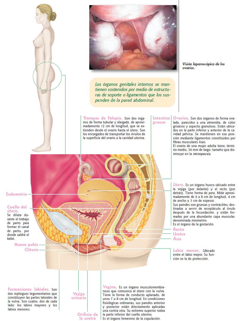 Vistoso Grises Canal Anatomía 7 Festooning - Anatomía de Las ...