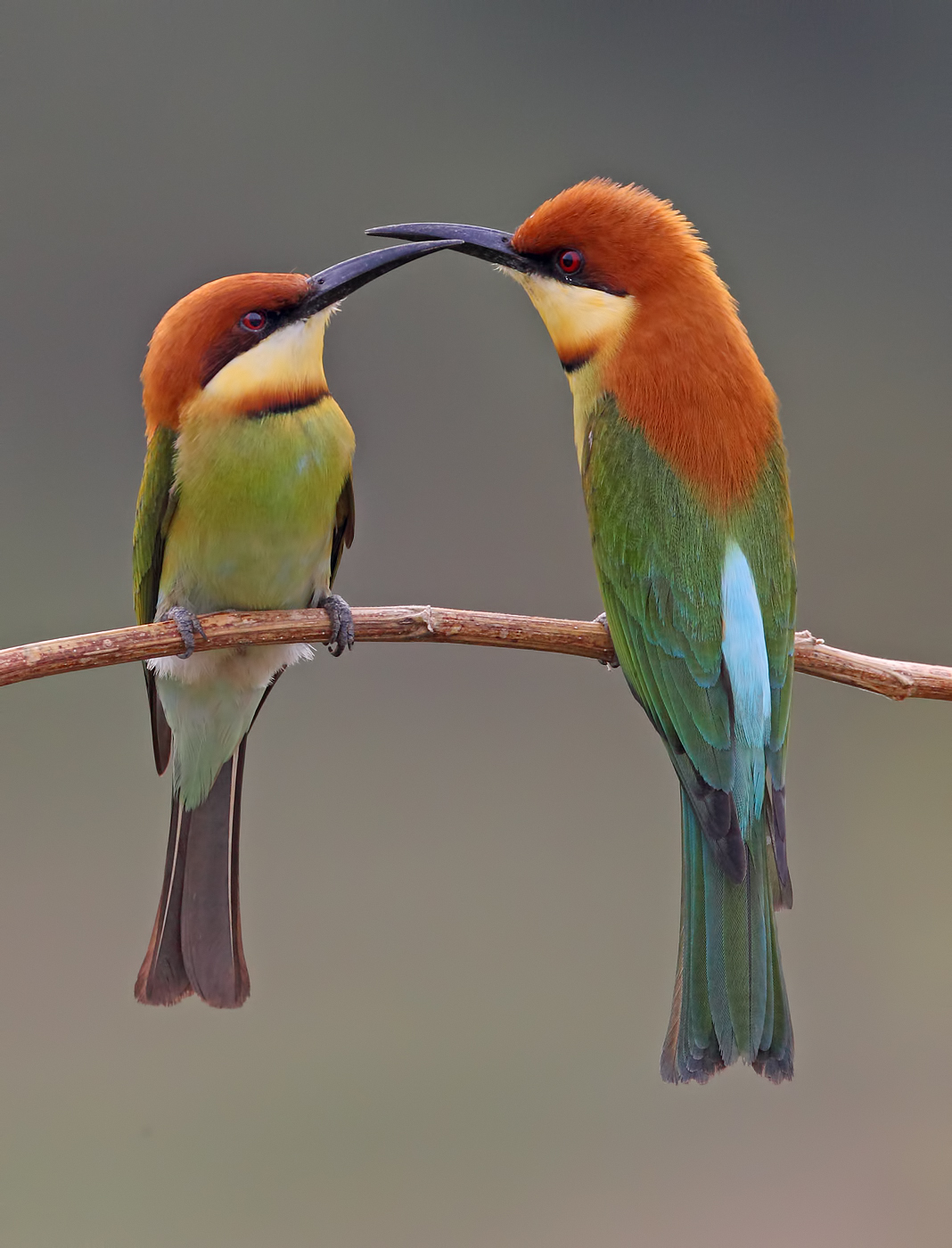 Chestnut-headed Bee-eaters nesting in Penang - photo#28