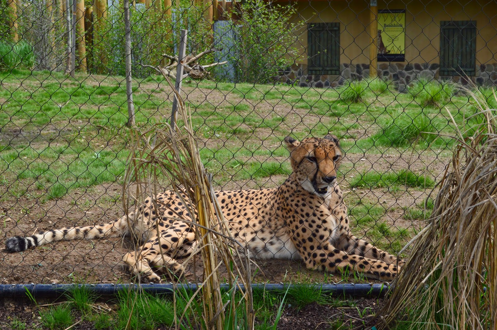 cheetahs in zoos Dogs at the zoo since the 1980s, the thoughtco (accessed april 19, 2018) copy citation continue reading the role of zoos in endangered species conservation police, search and rescue dogs: the animal rights debate.