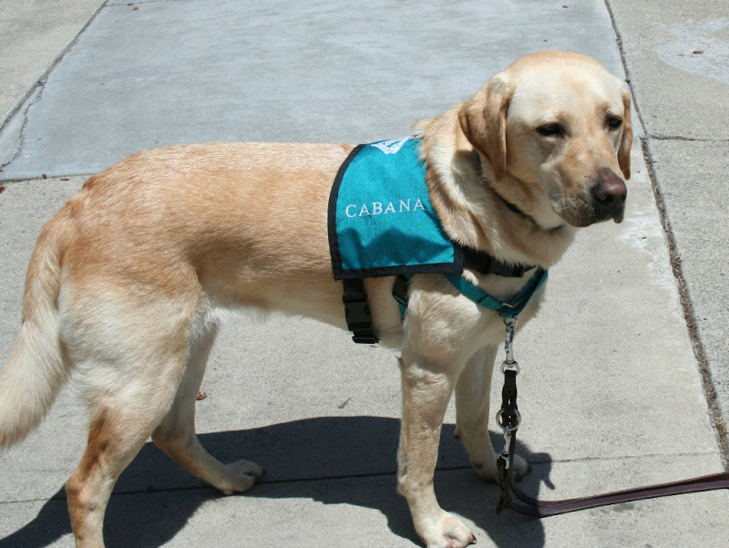 cabana standing on concrete, wearing her teal green therapy dog vest that has Cabana embroidered onto the side