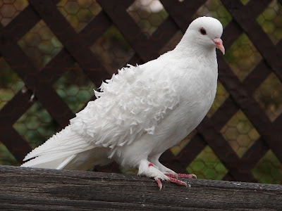 White Dove Picture