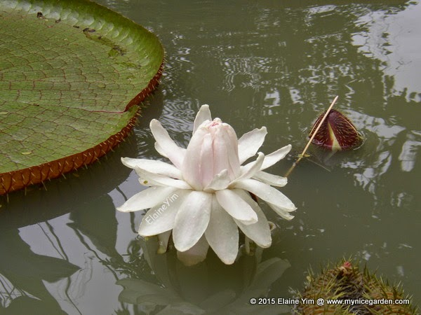 how to grow giant water lily
