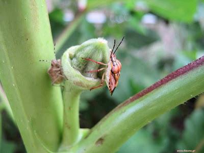 Μπάμια: σπορά φύτεμα καλλιέργεια