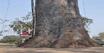 Pohon Punah Paling Keras Ditemukan Kembali