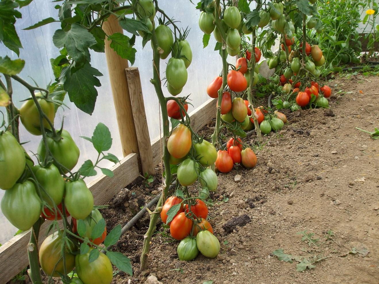 Выращивание томатов видео 28