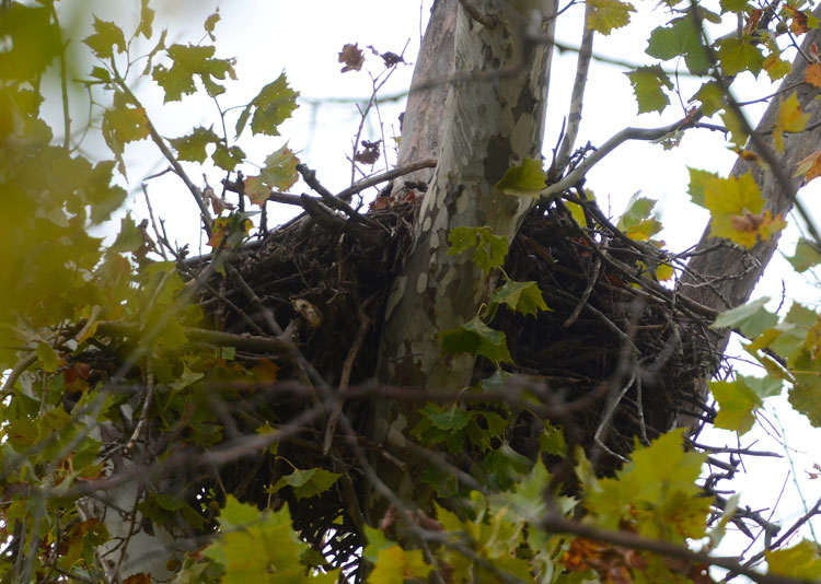 An eagle's nest (or at least what we think is an eagle's nest) on the Little Miami River at the Spring Valley Wildlife Area.