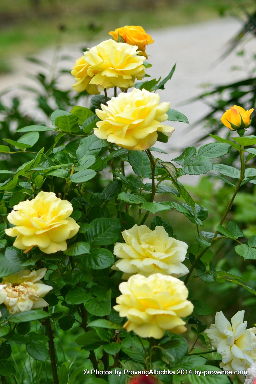 patio.roses.jaune