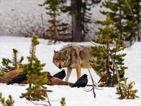 Why America Needs Wolves: Restoring the Wolf, Restoring the Wild (Video)