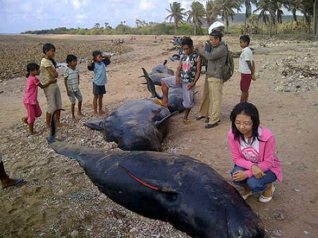 Baleias encalham e morrem em praia na Indonésia, população local comem os animais.