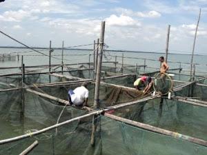 Rangkaian kegiatan panen ikan kerapu di keramba SUBCI