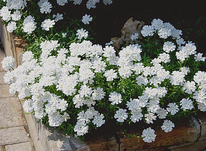 Giardinaggio laura ponte in valtellina iberide for Fiori perenni pieno sole