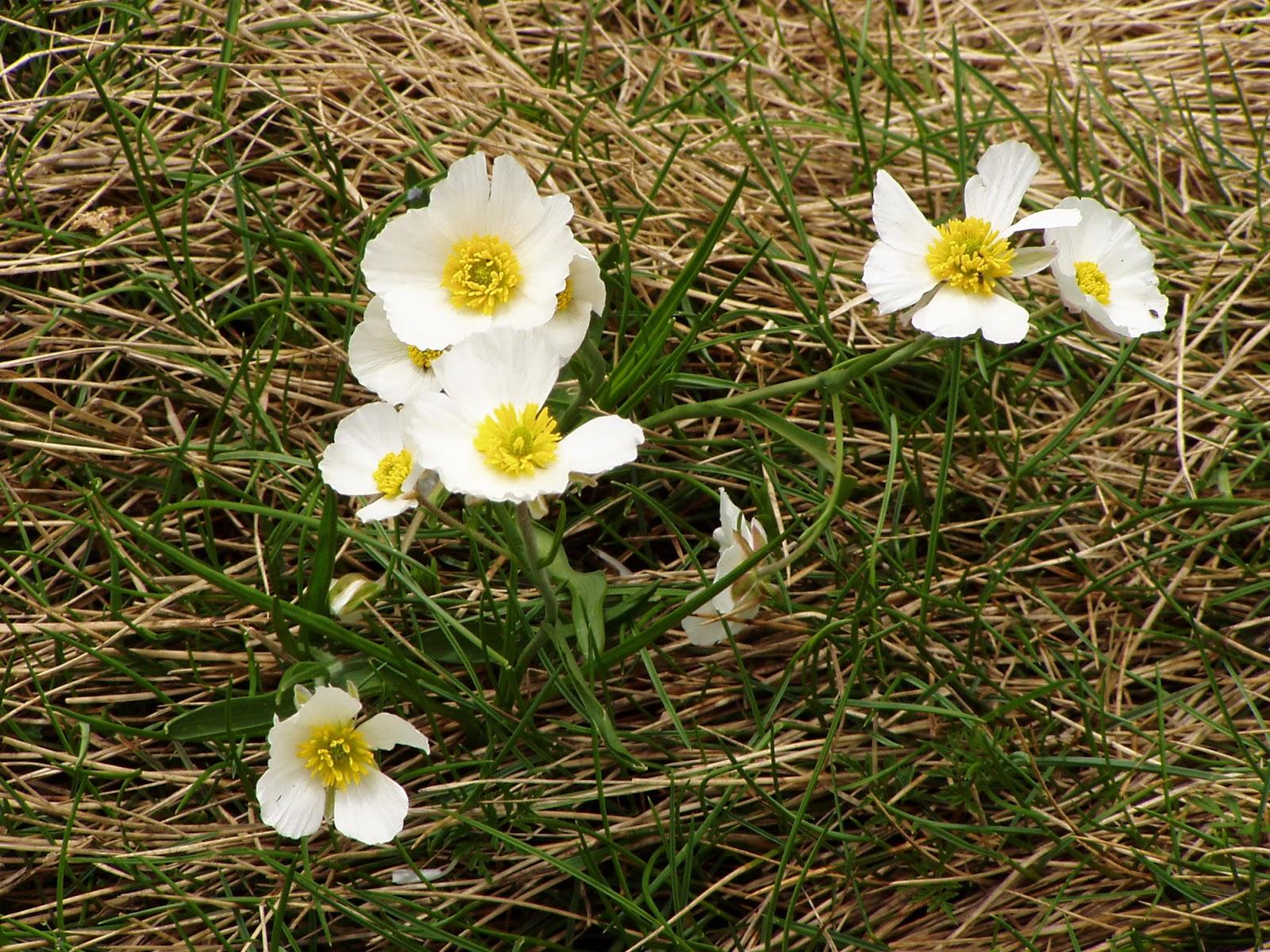 Les pyr n es photos randonn es paysages et rencontres flore de montagne fleurs blanches ou - Fleurs de montagne alpes ...