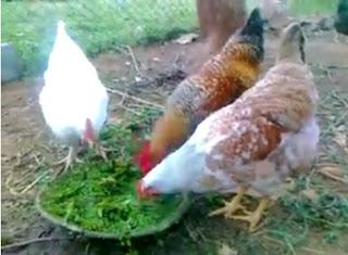 cara ternak ayam kampung pedaging