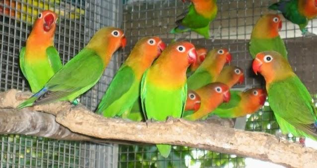 tips cara beternak love bird labet burung cinta secara