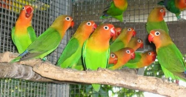 budidaya burung tips cara beternak love bird labet