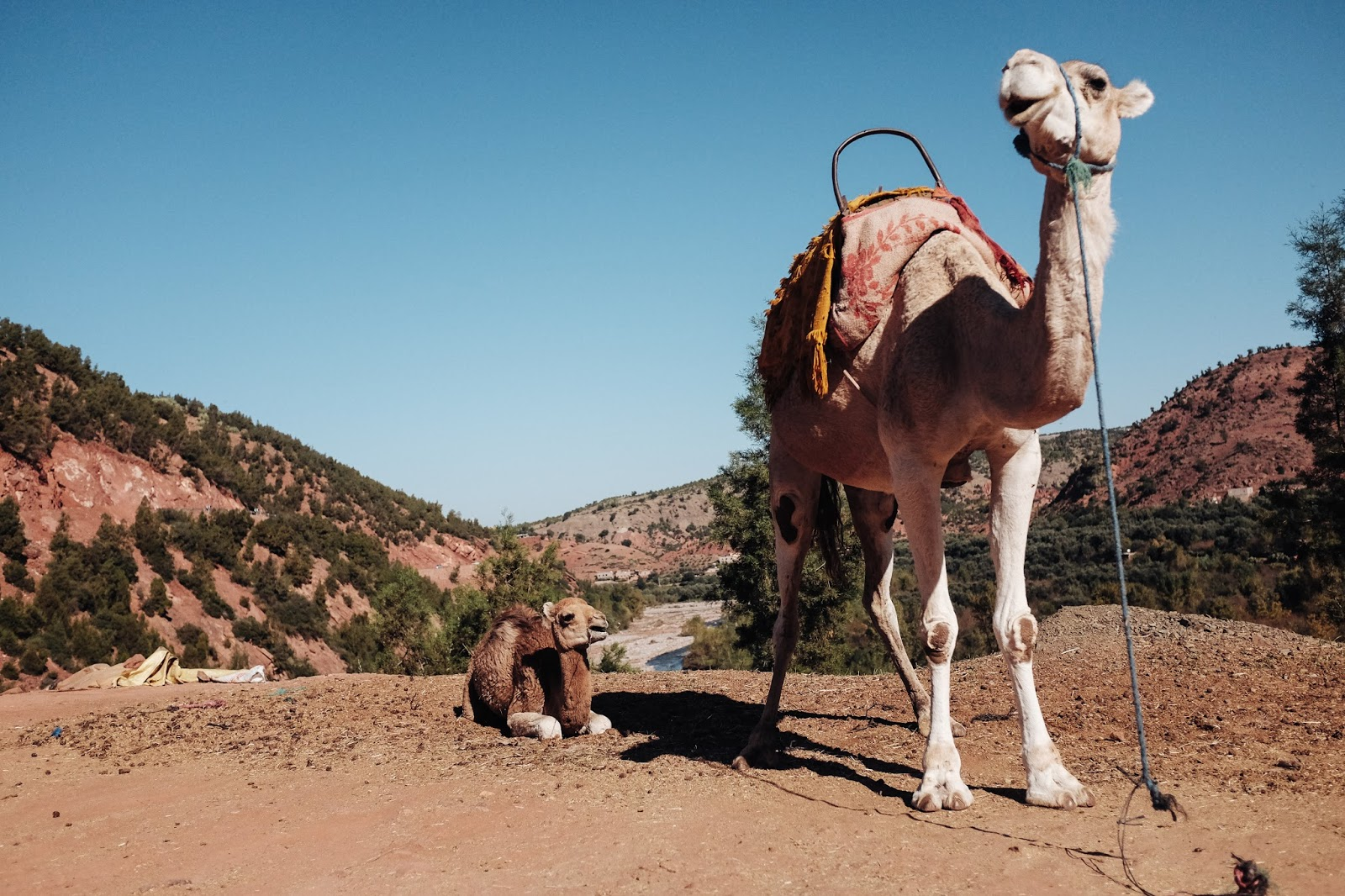 Camels on Atlas Mountains Marrakech Morocco