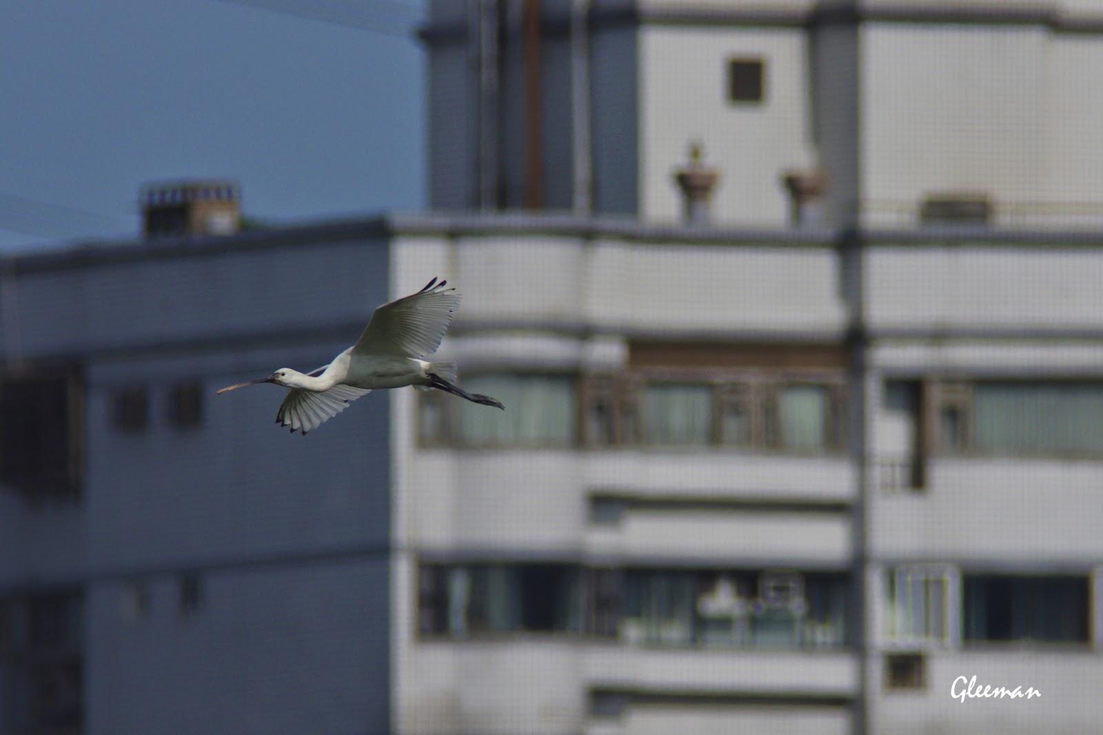 這幾天有隻白琵鷺以及約十五隻黑面琵鷺停留在關渡保育區內