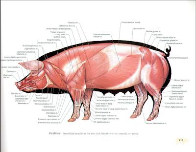 Pig vascular anatomy