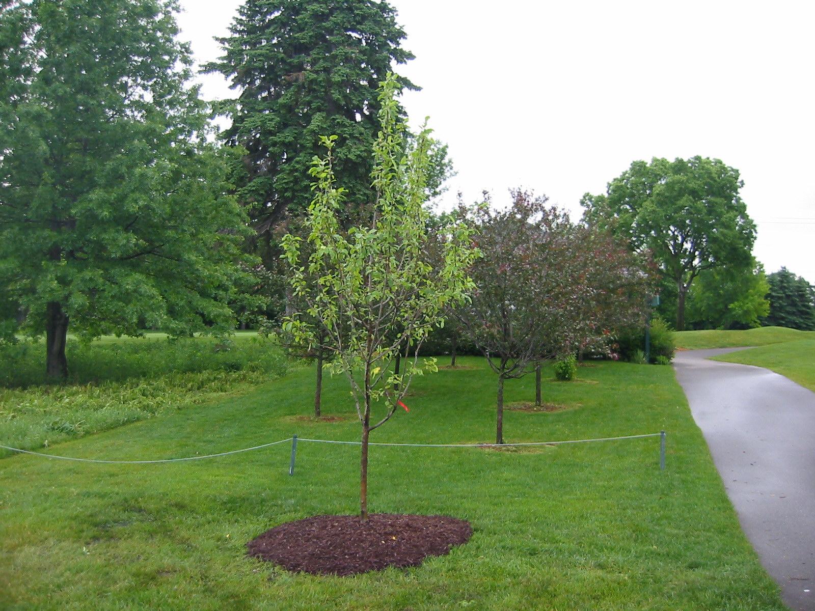 Dakota Pinnacle and Zestar Apple Trees Planted on Golf CourseZestar Apple Tree