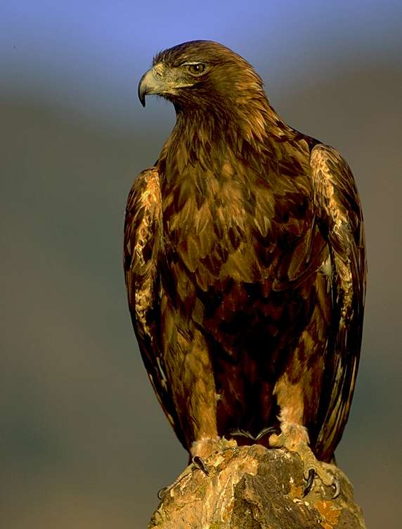 golden eagle flying. Golden Eagle Bird Populations