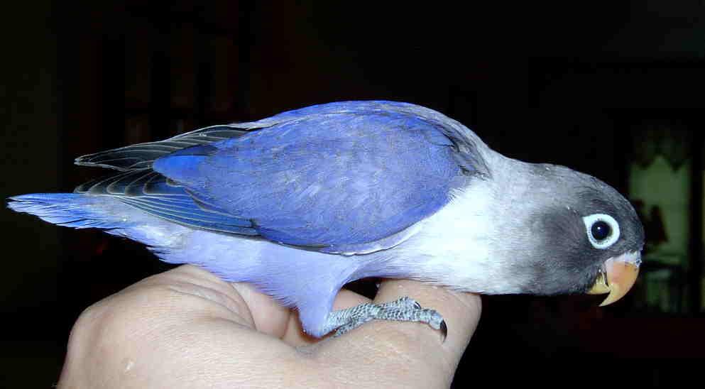 burung berkicau burung lovebird albino dan lutino